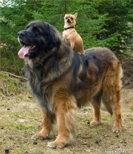 Big_Dog