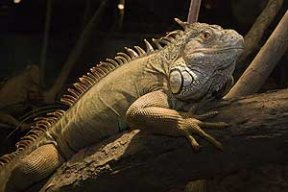 iguanamon